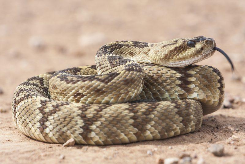 נחש צפע. הנחש הארסי ביותר הנפוץ ביותר באזורנו