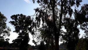 עצי אקליפטוס בברכות הצפוניות