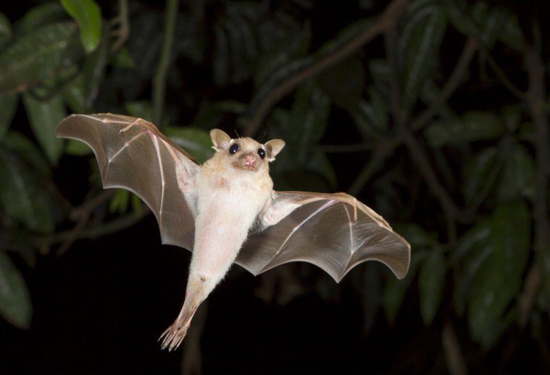 עטלף פירות. צילום: שאטרסטוק