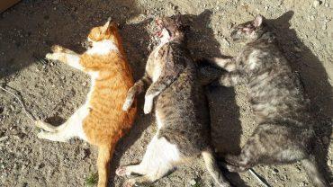 פגרי חתולים שהוצאו מהמכולה