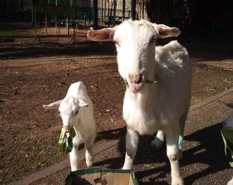 שולטתתת. העז יפה ובנה טומי