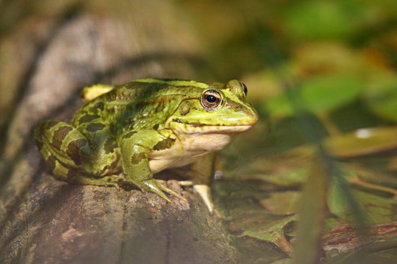 תמונת הסיפור 'לני' (צפרדע בעמק הצבאים)